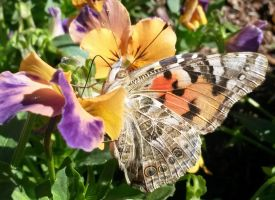 painted lady side view 2 by Distraughtamus