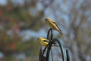 Gold finches by Laur720