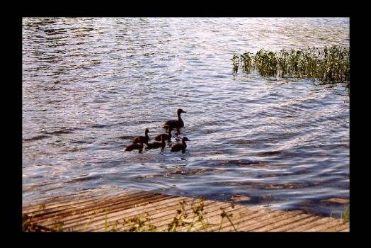 Family of Ducks by slomotionwalter