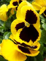 Yellow Pansies 2 by theNanna