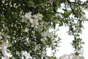 Spring Scenes - Apple Blossoms3 by Qrinta