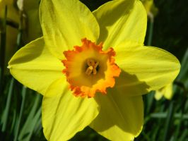 Daffodil 4 by MunsenTheBiscuit69