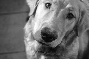 Lexi Lou Golden Retriever 2 by katherinekhaos