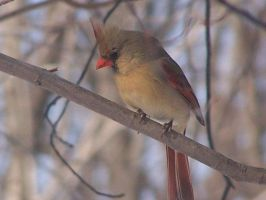 Female Cardinal by LaurieSalzler