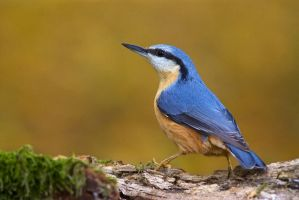Eurasian Nuthatch by JMrocek