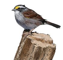 White Throated Sparrow by jbeverlygreene