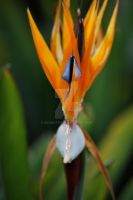 Bird of paradise by akemster
