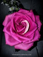 Pink Rose by StarsColdNight