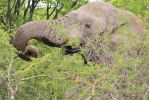 Elephant, African Icon - Thorny Lunch by LivingWild