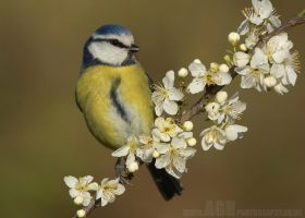 Blue Tit by Albi748