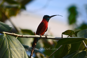 Northern Carmine Bee-eater by SorrenFey