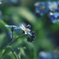 forget me not: by vitzy