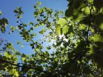 Sun through leaves by pathed