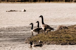 Geese by wheeler-photographic