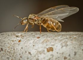 Flying Ant 2 by cathy001