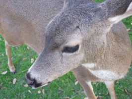 Black-tailed Deer Doe Close-Up by PacificPikachu