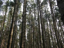 Random Pine Forest by Immortal-angel-stock