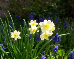 Paperwhites by CKNelson