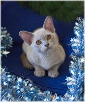 Burmese Christmas Kitten by substar