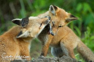 Red Fox Kits Playing by soak2179