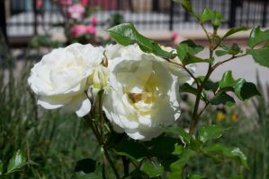 Bee Pollinating Rose by Elle-Arden
