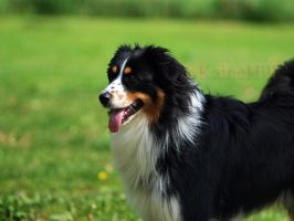 Black Tri Aussie by KaineHillPhotography