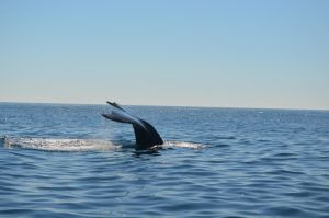 Humpback Whale by Cypselurus