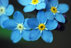 forget-me-not. by Drvall