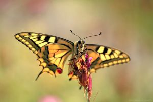 Machaon by FlorentCourty