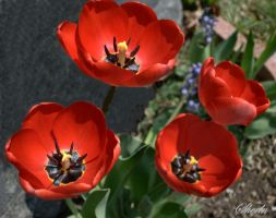 Brilliant Red Tulips by sherln