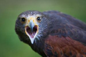 Bird of Prey by RichieSmith27