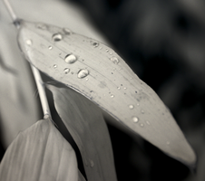 Raindrops on bamboo by bmh1
