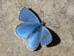 Butterfly 9 - blue butterfly by Momotte2stocks