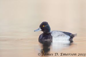 Lesser Scaup by jamesjde