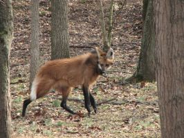Maned Wolf by Nightmare666Maiden