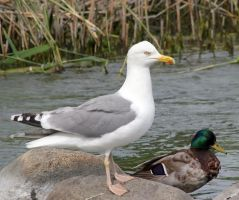 Herring gull nd reference duck by TomiTapio
