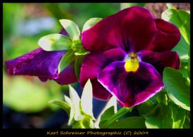 Burgundy Pansy by KSPhotographic
