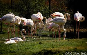 The Flamingos by RicGrayDesign