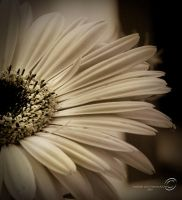 Sepia Gerber Daisy for Karen by SharonLeggDigitalArt