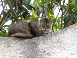 Sardinian cat 2 by KisaragiChiyo