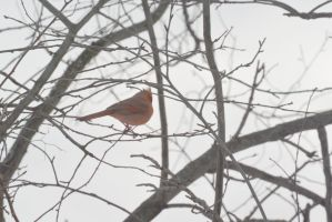 Cardinal Casing the Branches 4 by Miss-Tbones