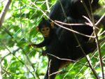 Baby Black Mangabey by edgefan-talon