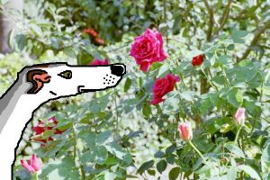 The Greyhound's Rose by Cecilia-Schmitt