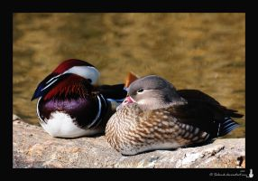 Mr. and Mrs. Duck.... by Salemik