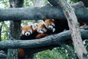 Red pandas at zoo by i-love-stevie