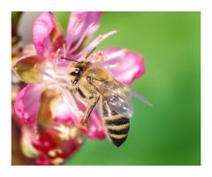 Flower, Bee, macro by selley