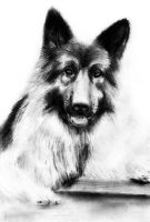 Alsatian Dog Drawing by slippy88