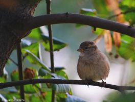 The Fluffy Sparrow by AlecsPS