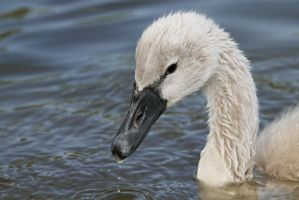 Cygnet Glance by SnowPoring