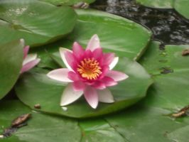 Pink Lotus by SquishyPandaPower